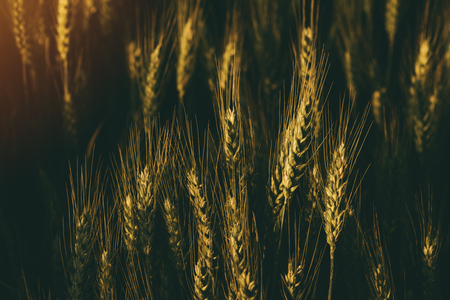 cultivo de trigo: Cultivated agricultural wheat field, ears of cereal crop