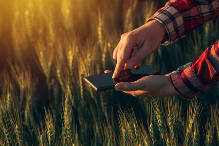 cultivo de trigo: Agronomist using smart phone app to analyze crop development, female hands with mobile phone in cultivated wheat field