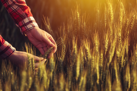 cultivating: Agronomist examining ripe wheat crop spikelets in cultivated agricultural field Stock Photo