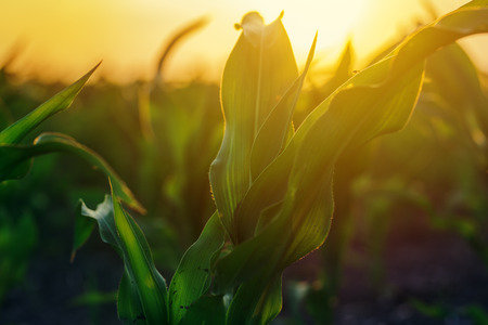 Corn plantation in sunset, maize crop plants growing in field