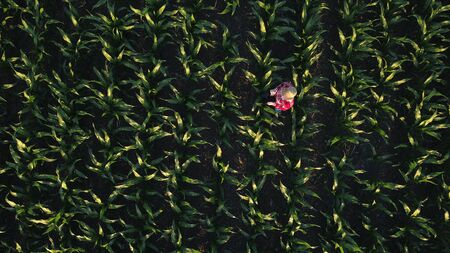 cultivated: Aerial view of female farmer with digital tablet computer in cultivated agricultural maize crop corn field, drone pov