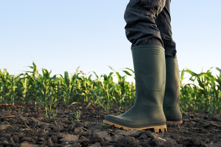 Farmer in rubber boots standing in the field of cultivated corn maize crops