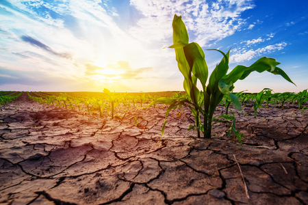 Young corn growing in dry environment, drought season on maize crop plantation 스톡 콘텐츠