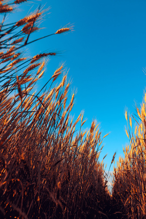 Low angle of ripe wheat field with blue sky as copy space Stock Photo