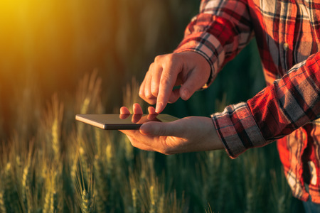 cultivo de trigo: Agronomist using smart phone mobile app to analyze crop development, female hands with mobile phone in cultivated wheat field