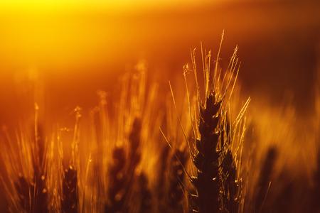 cultivo de trigo: Oído maduro de la cosecha de trigo en la puesta de sol, la cosecha de plantación de cereales listo