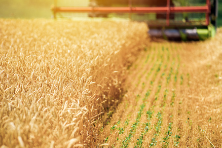 harvested: Combine harvester machine harvesting ripe wheat crops in cultivated agricultural field, selective focus