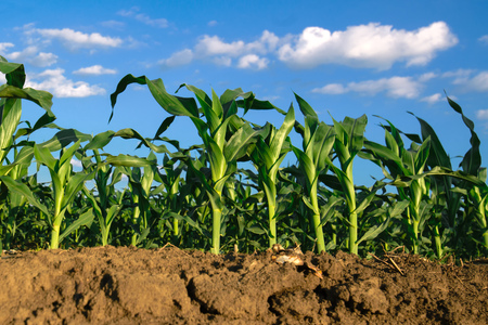 Corn plants growing in cultivated agricultural field, low angle with soil in foreground and blue sky in background Stock Photo
