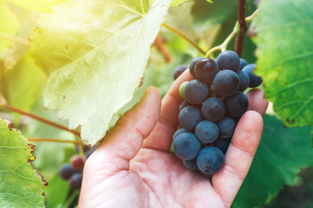 Farmer examining and picking grapes fruit grown in organic grapeyard garden, male hand holding ripening fruit