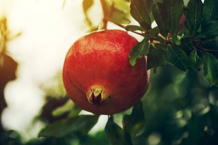 Ripe pomegranate fruit on the tree branch in summer, selective focus Stock Photo