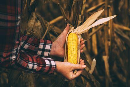 Farmer agronomist holding corn ear on the cob. Ripe maize ready for harvest.