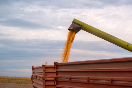 Combine harvester auger unloading harvested corn into tractor trailer. Agricultural machinery and equipment work in the field of cultivated maize crop.