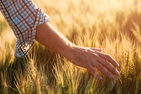 Taking care of crops, hand of a farmer touching ripe wheat ears in cultivated field Stockfoto