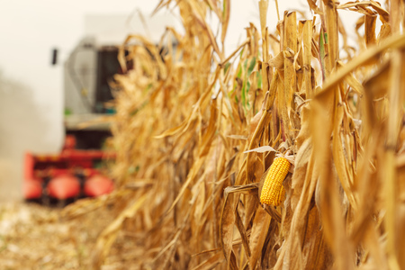 Harvesting corn crop field. Combine harvester working on plantation. Agricultural machinery gathering ripe maize crops. 스톡 콘텐츠