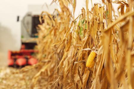Oogsten van maïs gewas veld. Maaidorser werkt op plantage. Landbouwmachines die rijpe maïsgewassen verzamelen. Stockfoto - 98973901