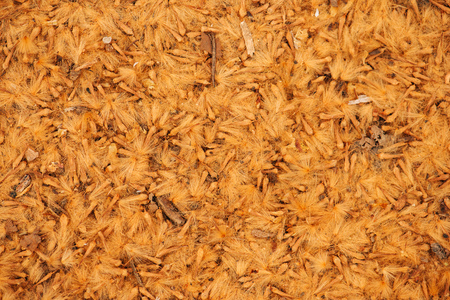 A drift of crushed sycamore seeds on the ground as abstract organic texture Stock Photo