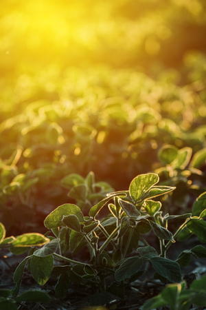 Cultivated soy bean agricultural field in sunset