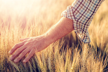 Male farmer touching wheat crop ears in field, agricultural activity and occupation