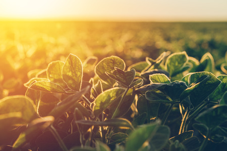 Soybean in sunset, cultivated agricultural crop field