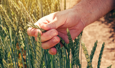 Farmer agronomist touching cultivated green spelt wheat in field during the control examination of cereal plant development