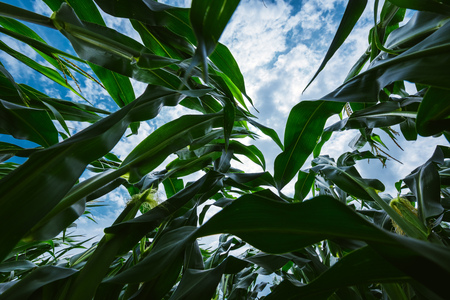 Maize crop in corn field, low angle view Stockfoto