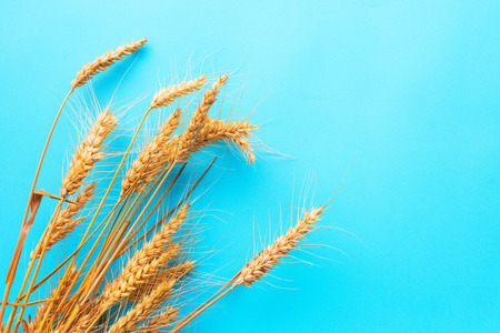 Ripe ears of wheat on blue background with copy space