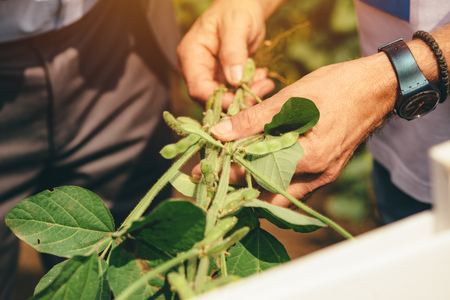 Agronomist presenting soybean hybrid to businessman, investment in agricultural production