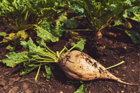 Extracted organically grown sugar beet root crop on the ground
