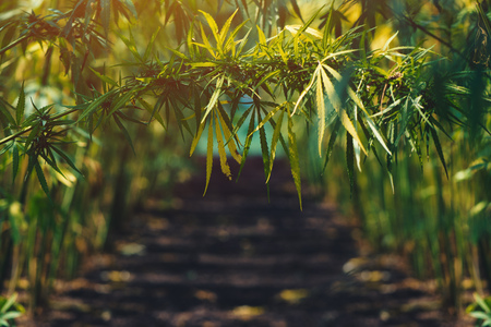 Growing organic hemp on plantation, conceptual image Stok Fotoğraf - 109152537
