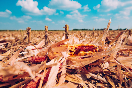 Corn cob on the ground, leftovers for gleaning in harvested cultivated field Standard-Bild - 109152345