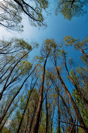 Looking at tall trees, low angle view of sky and deciduous forest treetops Standard-Bild