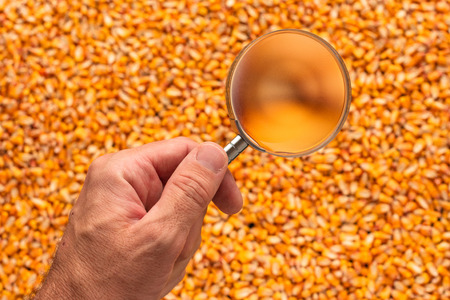 Scientist examining quality of harvested corn seed kernels, close up of hand holding magnifying glass