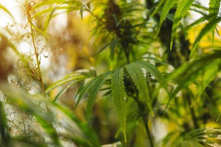 Hemp or industrial hemp is variety of Cannabis sativa plant