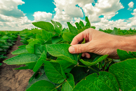 Managing soybean plant health, expert agronomist examining crop leaves in early stages of development