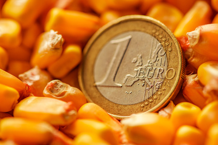 One Euro coin in harvested corn kernels heap, conceptual image for maize commodity trade, close up.