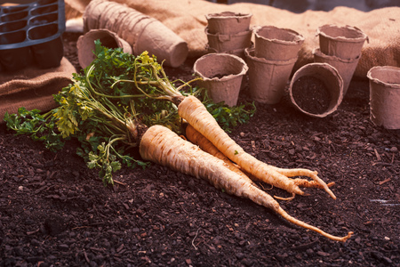 Organic parsley growing concept with freshly harvested root on vegetable garden soil ground