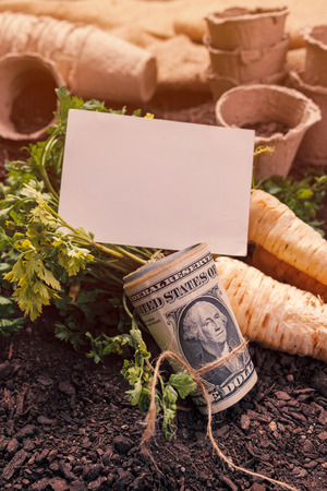 Making profit from organic parsley farming and business card mock up, harvested rooted parsley with roll of US dollar banknotes on garden soil ground Stock Photo