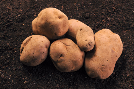 Harvested organic potato tubers on vegetable garden soil, close up of piled rhizome on ground