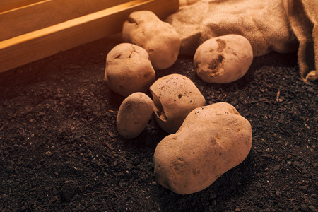 Potato tubers, organic locally grown food production concept, pile of harvested rhizome on the garden soil