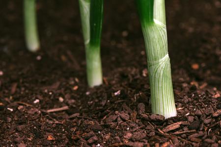 Spring onion or scallion in vegetable garden, organic homegrown produce Reklamní fotografie