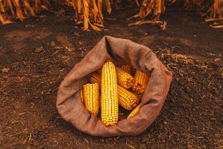 Harvested corn cobs in burlap sack left in the field