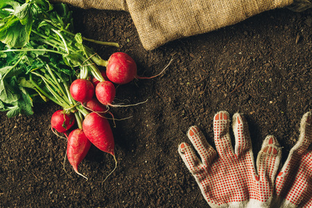 Red radishes and pair of gardening gloves on vegetable garden soil, top view