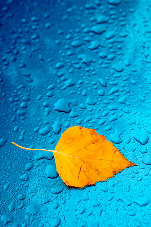 Autumn season cliche with copy space, dry yellow birch leaf and rain water droplets on blue metal surface Stock Photo