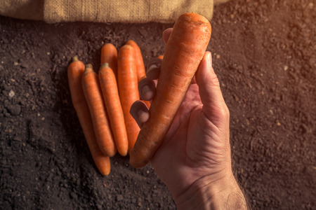 Hand holding harvested carrot root vegetable, harvested organic homegrown produce