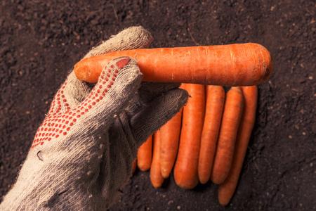Farmer holding harvested carrot, close up of hand with root vegetable over fertile garden soil