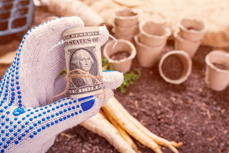 Making profit from organic parsley farming, farmer holding roll of US dollar banknotes over harvested rooted parsley on garden soil ground