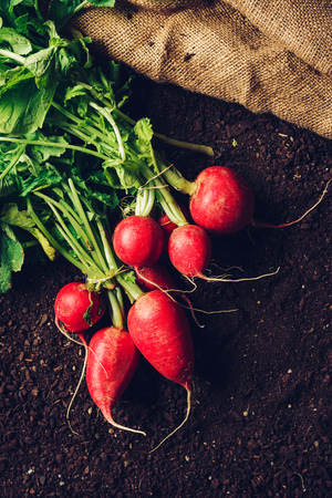 Top view of harvested garden radishes on soil, organic homegrown produce with compost humus ground as copy space