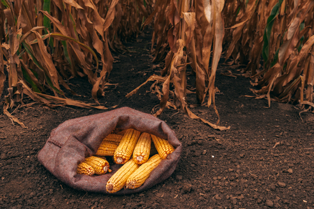 Harvested corn cobs in burlap sack left in the field 版權商用圖片