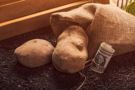 Making profit from organic farming of potato, roll of US dollar banknotes on garden soil with potato tuber in background