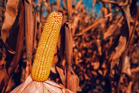 Corn in field, ripening cobs awaiting harvest